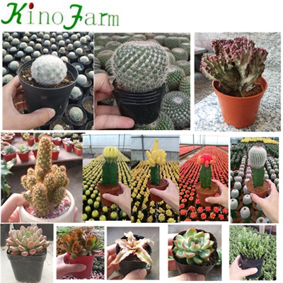 Natural Plant Flowering Cactus For Sale