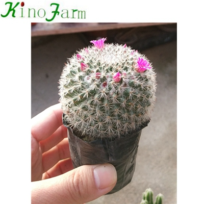 wholesale Natural Plant Ungrafted Cactus