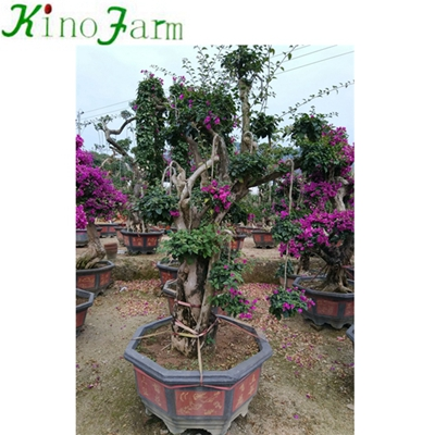 Natural Plant Outdoor Plant карликовое дерево Bougainvillea