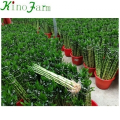 ornamental lucky bamboo