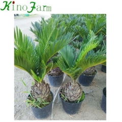 cycad king sago palm