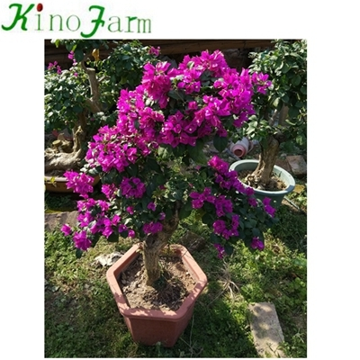 kinds of bougainvillea