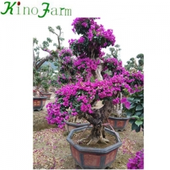 Living Outdoor Bonsai Bougainvillea Plant Kinofarm