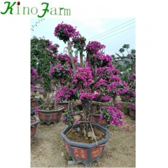 mature bougainvillea for sale