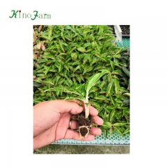 aglaonema 'nightparkle' Kinofarm