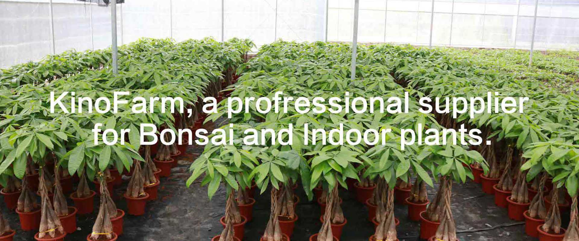 Indoor Bonsai Plants Wholesale Grower